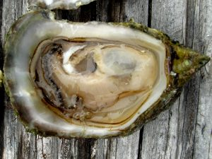 oympia oyster