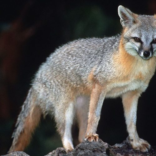 What's In Your Watershed: The Gray Fox