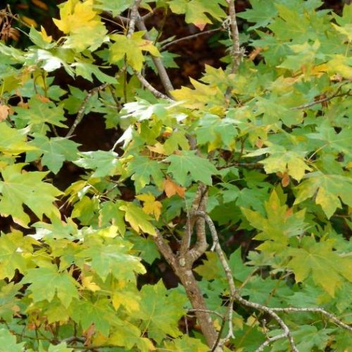 What's in Your Watershed: Magnificent Maples