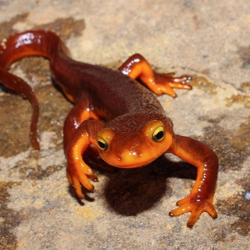 What's In Your Watershed? | California Newt