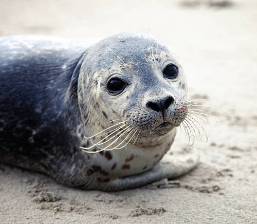 What's in Your Watershed: Harbor Seal