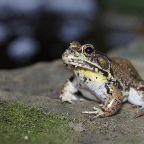 What's in Your Watershed: The Bellowing American Bullfrog