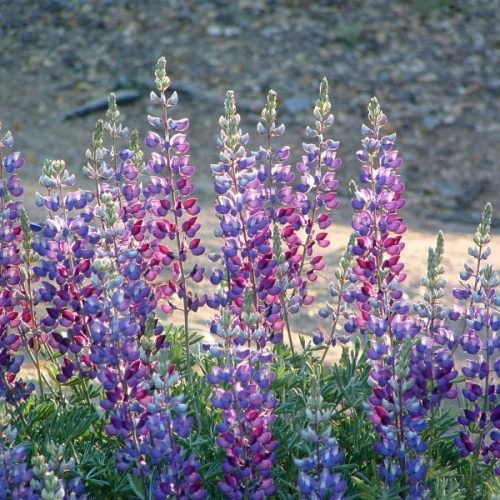 What's in Your Watershed: Lupines