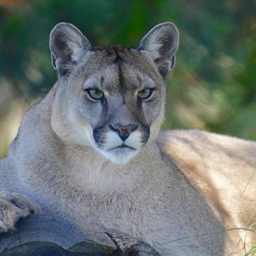Cougar? Puma? Mountain Lion? What is it anyway?